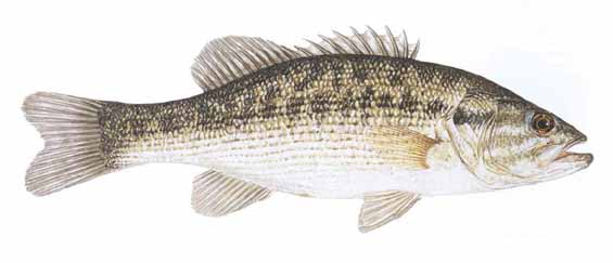 Spotted bass micropterus punctulatus for Texas freshwater fish limits