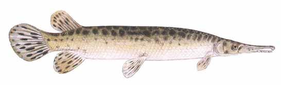 Spotted Gar (Lepisosteus oculatus)
