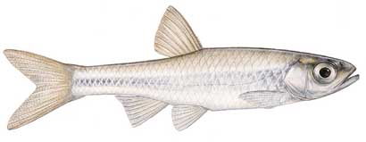 Texas shiner notropis amabilis for Texas fish species