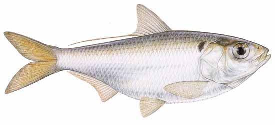 Presas de la Lobina / Black Bass Threadfinshad