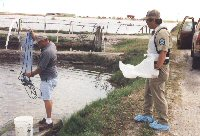 capturing shrimp in outdoor ponds for inspection