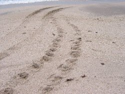 tracks of the kemps ridley turtle as it moves on 