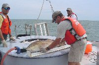 biologist measuring red drum on longline