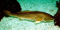 red drum shown underwater