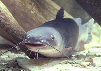 Closeup Of Large Catfish Swimming