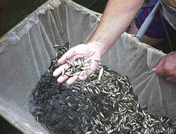 Freshwater fish production for Baby carp for sale