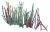 Woody Glasswort