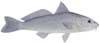 Gulf Kingfish