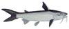 Hardhead Catfish