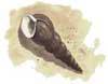 Horn Shell