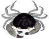 Mud Crab