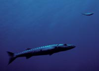 Nearshore barracuda