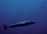 Nearshore barracuda