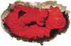 Red-Orange Encrusting Sponge
