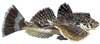 Bighead Sea Robin