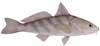 Southern Kingfish