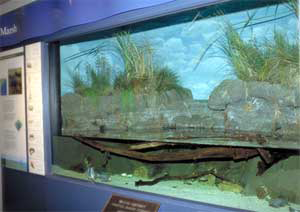 salt marsh aquarium