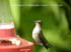 Ruby-Throated Hummingbird (female) © T.H. Collins