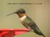 Ruby-Throated Hummingbird (male) © T.H. Collins