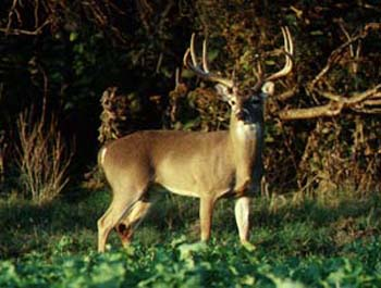 TPWD: The Rut in White-tailed Deer on