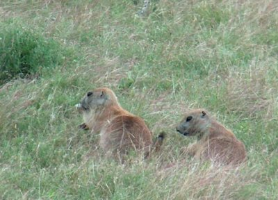 Prairie dogs at the Gene Howe WMA