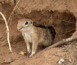 A spotted ground squirrel at the Matador.