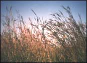 Long Prairie Grasses