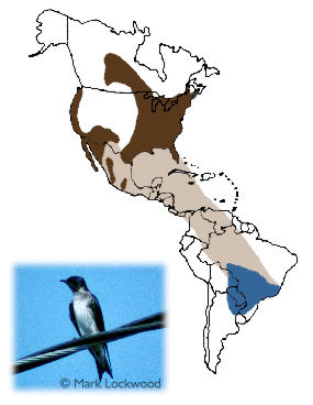 Purple Martin - Breeding range includes the eastern half of the U.S. east of the Rocky Mountains plus parts of central Canada.  The species occurs disjunctly in the Desert Southwest and Pacific Coast region.  The species migrates either over or around the Gulf of Mexico and through Central America and much of South America.  The bulk of its wintering range includes Paraguay and southeastern Brazil.
