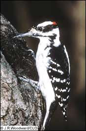 tpwdthe woodpeckers of the eastern texas pineywoods