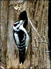 tpwdthe woodpeckers of the eastern texas pineywoods