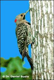 Tpwd The Woodpeckers Of The Eastern Texas Pineywoods