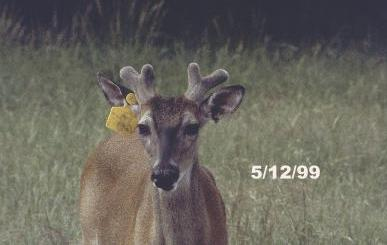 White Tailed Deer Stages Of Antler Development