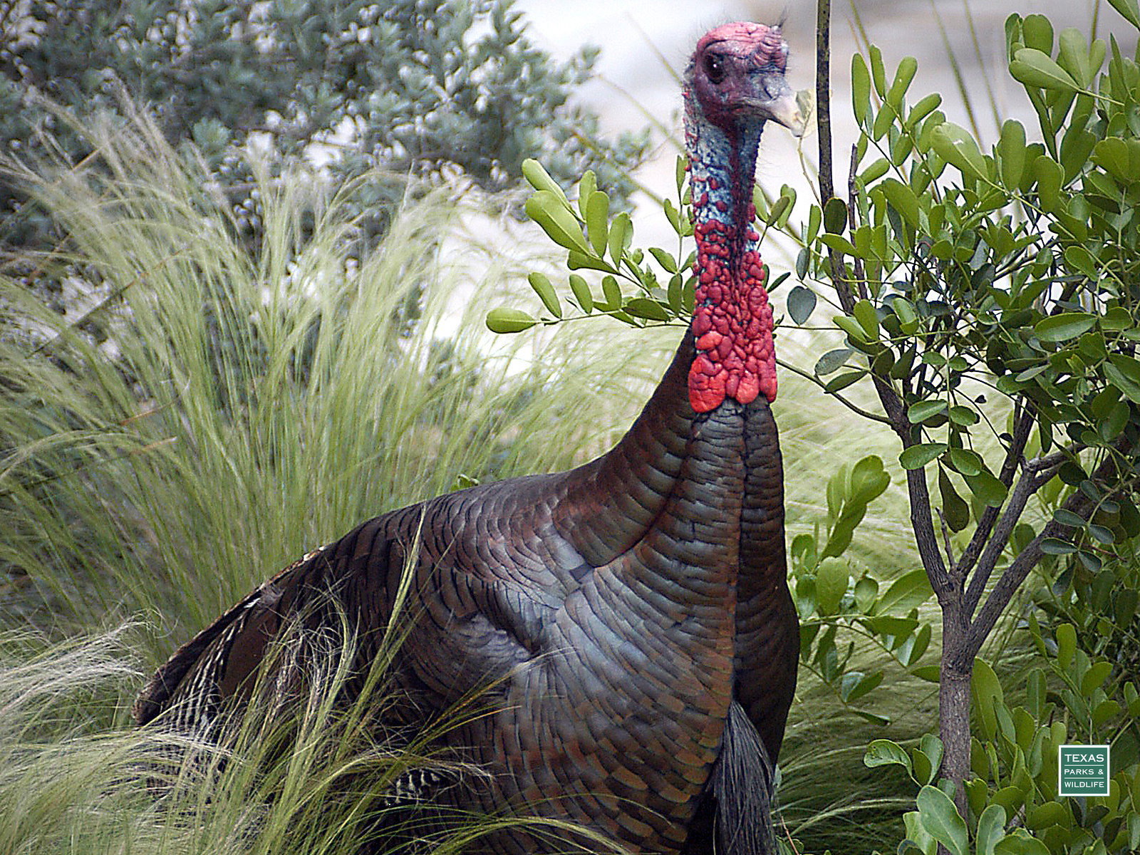 Wild turkey desktop backgrounds