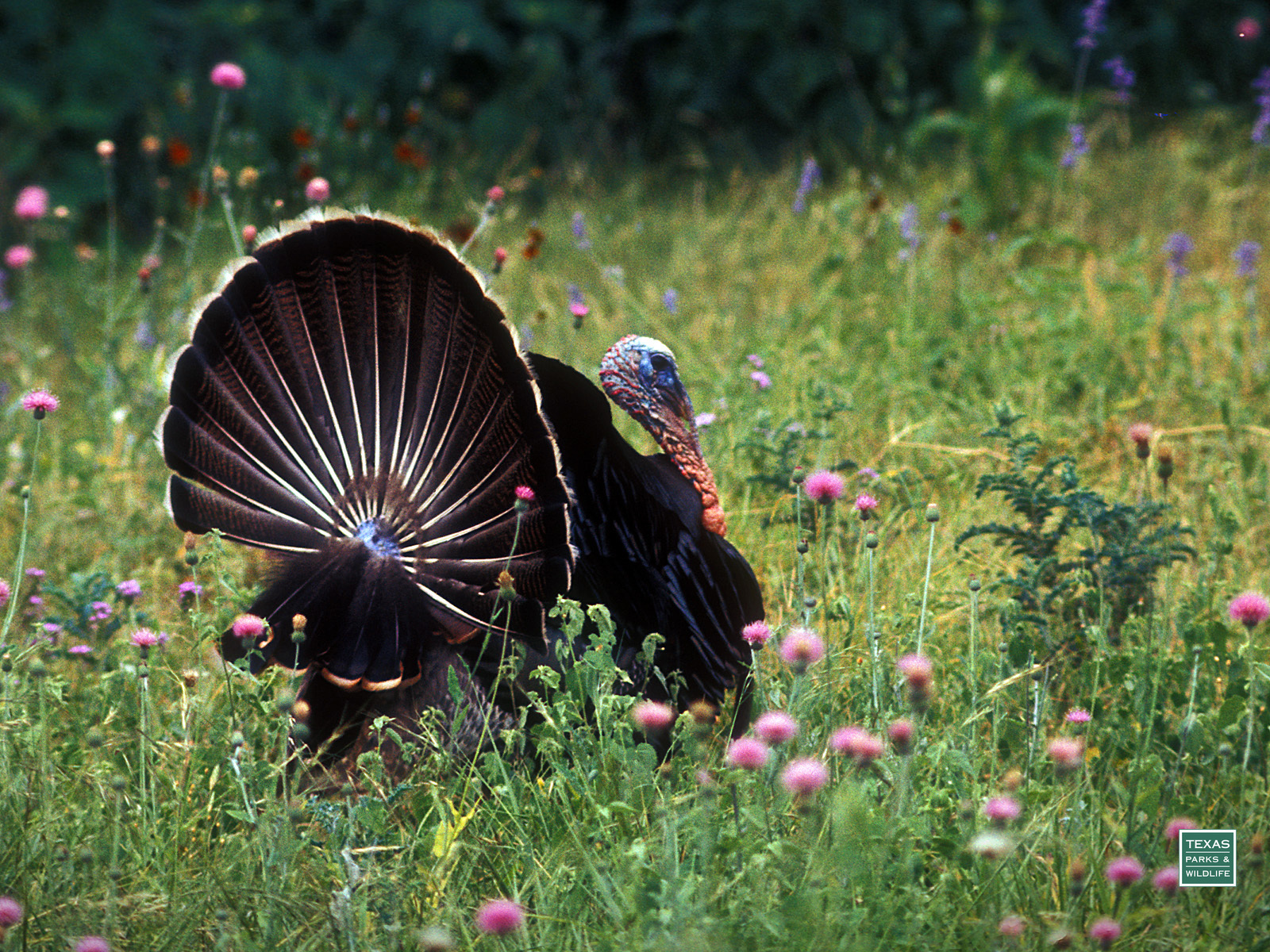 wild turkey desktop backgrounds