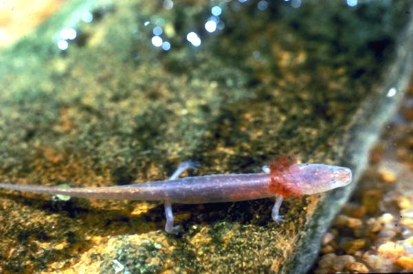 Presas de la Lobina / Black Bass Bartonsprings_salamander