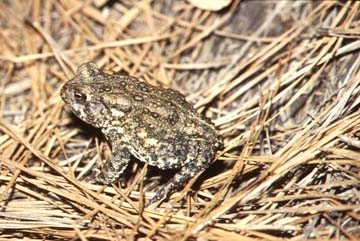 Photograph - profile of Houston Toad (Bufo houstonensis)