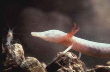 Photograph of the Texas Blind Salamander