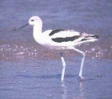 Photograph of the American Avocet