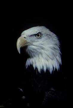 Photograph of the Bald Eagle