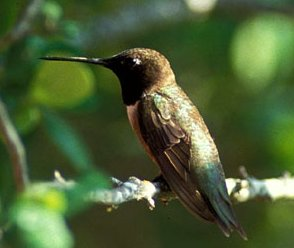 Picture of Black-chinned Hummingbird (Archilochus alexandri)