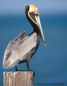 Photograph - Eastern Brown Pelican (Pelecanus occidentalis occidentalis)