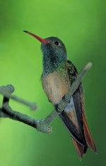 Picture of Buff-bellied Hummingbird