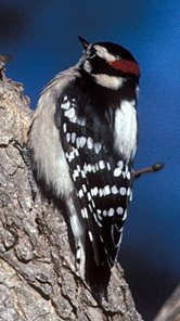 Photograph of the Downy Woodpecker