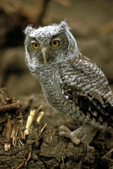 Photograph of the Eastern Screech Owl
