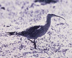 Photograph of the Eskimo Curlew