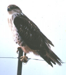 Photograph of the Ferruginous Hawk