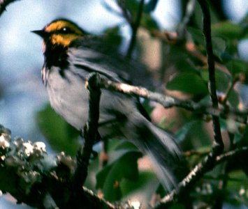 Picture of Golden-cheeked Warbler (Dendroica chrysoparia)