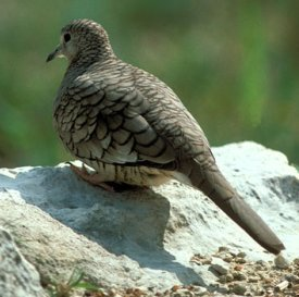 Photograph of Inca Dove