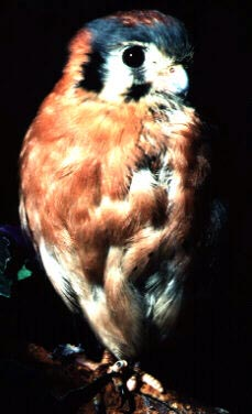 Photograph of the American Kestrel