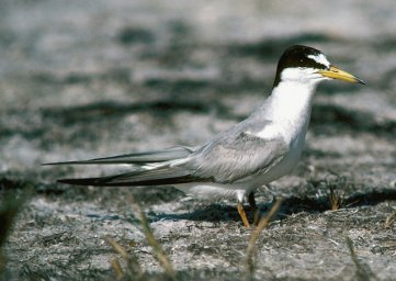 Photograph of the Interior Least Tern